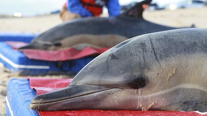 260 Dead Dolphins Scattered on Shoreline of Peru, Just Days After Mysterious U.S. Incident