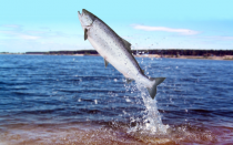 Genetically Modified Nature: GM Salmon Under Attack By Concerned Experts