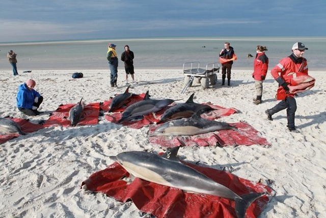 Mystery: Mass Dolphin Deaths By Beaching