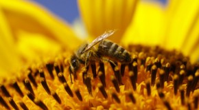 Zombie honeybees discovered in Washington state