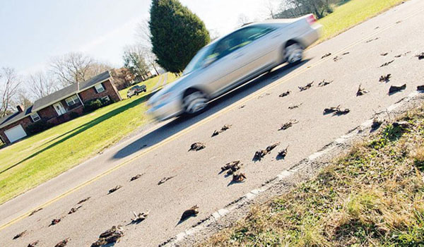 MASS BIRD DIE-OFF Up to 300 Birds Mysteriously Fall From The Sky In Seymour, Tennessee