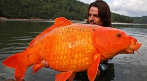 We're going to need a bigger bowl! Monster goldfish up to a foot and a half long are found in Lake Tahoe after being dumped from aquariums