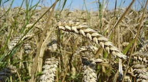 "GMO Wheat Molecules May ""Silence"" Hundreds of Human Genes"