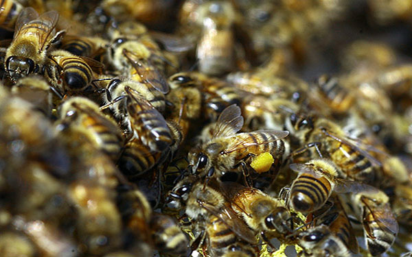Global Disappearance of Bees