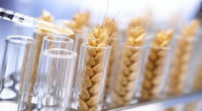 Modern Wheat Is The 'Perfect Chronic Poison' Says Expert