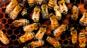 One-Third of U.S. Honeybee Colonies Died Last Winter, Threatening Food Supply