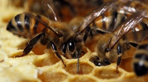 Beemageddon Threatens US with Food Disaster