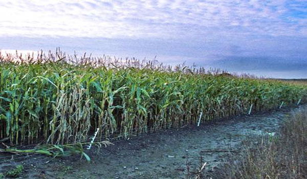 GM crops Public fears over 'Frankenstein food' may be easing, Independent poll reveals