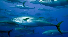 Radioactive Bluefin Tuna Caught Off California Coast