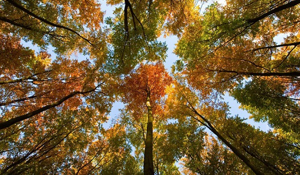 Genetically engineered trees under USDA consideration could harm environment - report