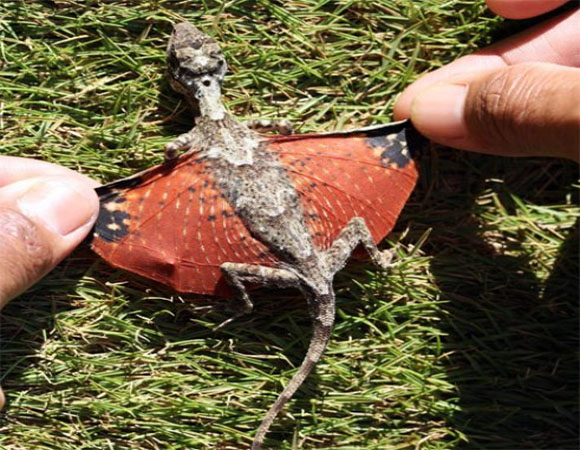 Dragon discovered in Indonesia