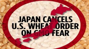 Japan halts imports of U.S. wheat after USDA's shock finding of genetic pollution from GMOs