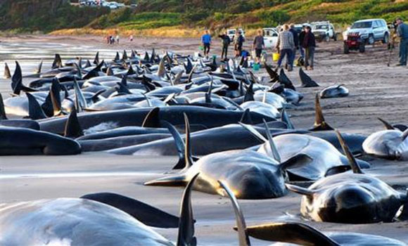 Ten whales dead, 41 others beached off Florida Gulf Coast