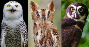 18 owl species with irresistible faces