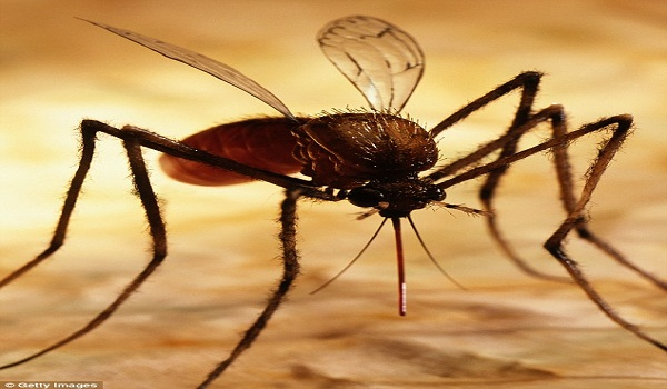 GM Mosquitoes To Be Released In Panama