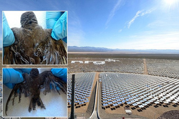 Horror at the world's largest solar farm days after it opens as it is revealed panels are SCORCHING birds that fly over them