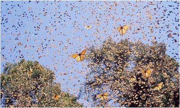 Monsanto Causing Extinction Of The Monarch Butterfly