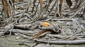 Mother Nature Wins Again: Insects Develop Resistance to Genetically Modified Corn