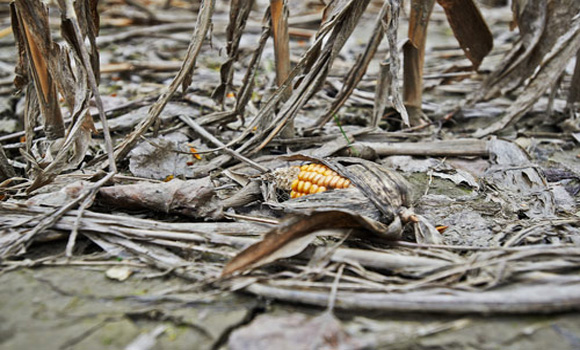 Mother Nature Wins Again Insects Develop Resistance to Genetically Modified Corn
