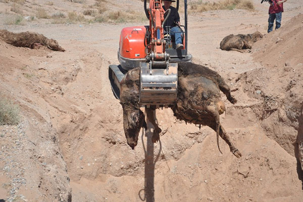 Report Bundy Family Unearths BLM Mass Cattle Grave