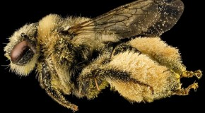 Beyond Honeybees: Now Wild Bees and Butterflies May Be in Trouble
