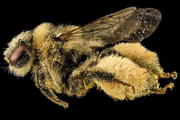 Beyond Honeybees Now Wild Bees and Butterflies May Be in Trouble