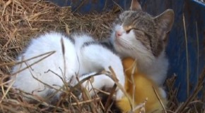 Mama Cat Cares For Ducklings