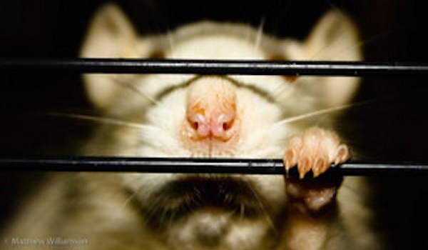 11 Ways Our Society Treats Us Like Caged Rats Do Our Addictions Stem from that Trapped Feeling