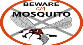 Beware the new 'Breakthrough' Transgenic Mosquitoes