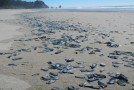 BILLIONS of mysterious jelly-fish-like creatures wash up on beaches along the west coast of the U.S