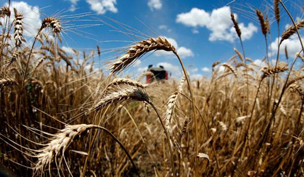 Monsanto GMO wheat contamination discovered in Montana