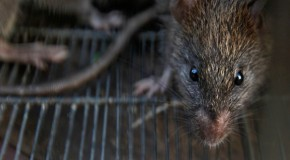 Rat City! NY vermin carry 18 new viruses – scientists