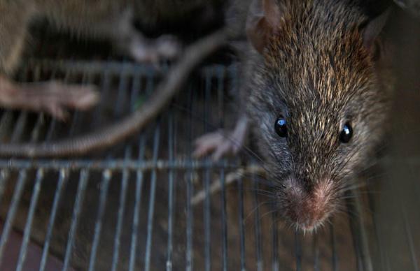 Rat City! NY vermin carry 18 new viruses - scientists