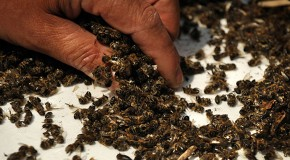 37 Million Bees Found Dead In Ontario, Canada After Planting Large GMO Corn Field